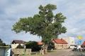 Topola Helena startuje w konkursie na Europejskie Drzewo roku 2018